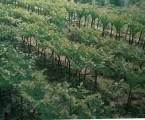Konjac plantation